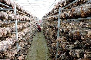 ハウスより生椎茸収穫